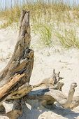 picture of driftwood  - Driftwood on sandy beach with marsh grass - JPG