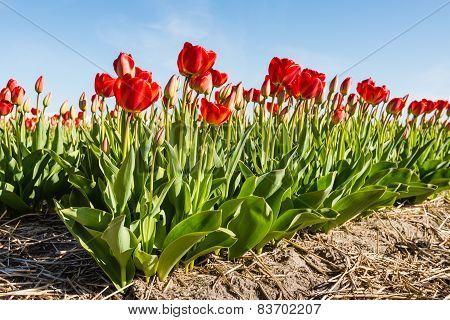 Flowering Red Tulip Bulbs