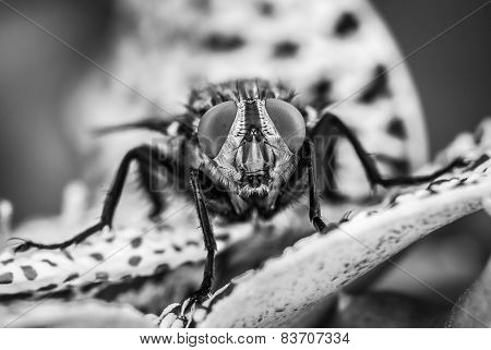 detail-eyed fly in black and white