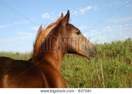 Chestnut Colt