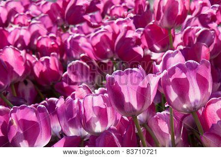 pink tulips growing  in garden