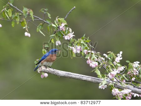 Eastern Bluebird in Pink Flowers