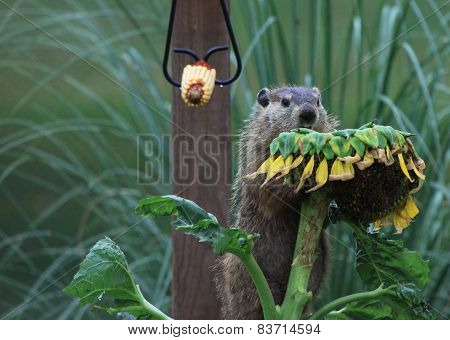 Groundhog eating sunflower