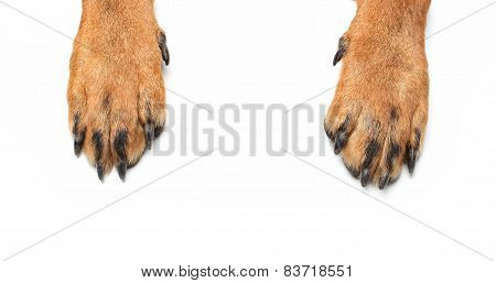 Rottweiler Paws