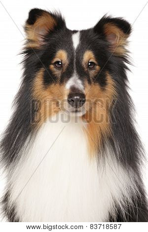 Portrait Of Shetland Sheepdog