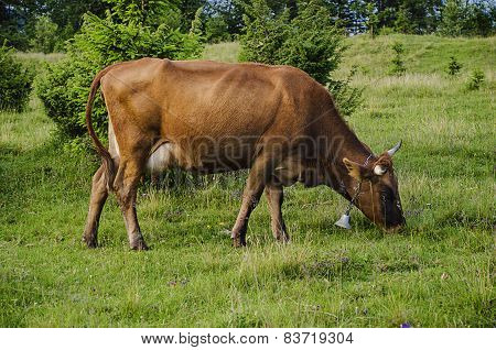 Dairy cow grazing at meadow