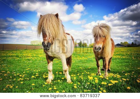 Country Landscape With Two Shetland Ponies