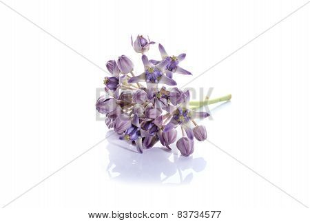 Fresh Calotropis Gigantea Flower Or Crown Flower On White Background