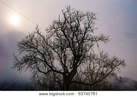 Beautiful Big Tree Silhouette In Contrast Sun Light