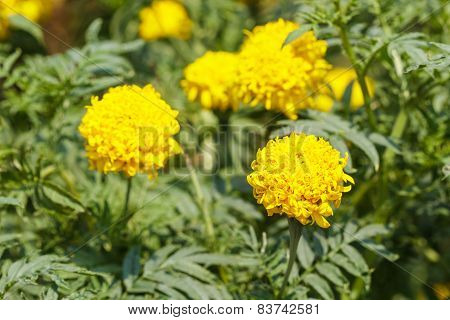 Yellow Marigold Flowers With Leaves In A Garden.