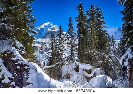 The Jungfrau behind the trees