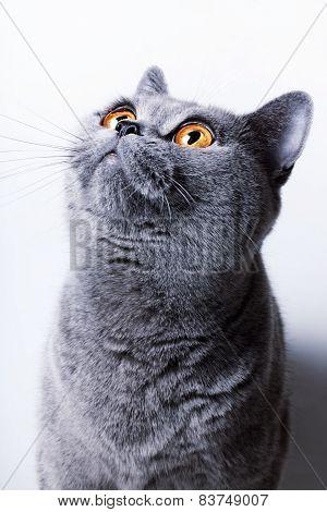 British Gray Cat
