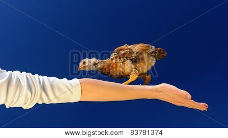 Acrobat Chicken Walking On Spread Arm (16:9 Aspect Ratio)
