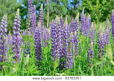 Purple Lupine Flowers Close-up