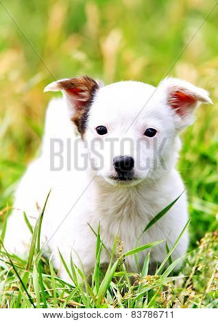 White wonderful puppy playing in the grass