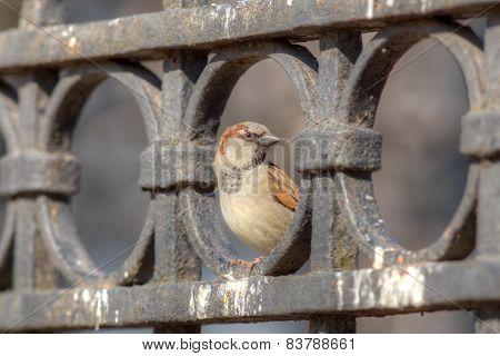 Sparrow On The Iron Fence