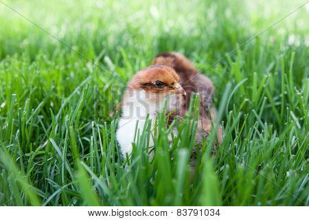 Fluffy Chicks Explore The Green Grass
