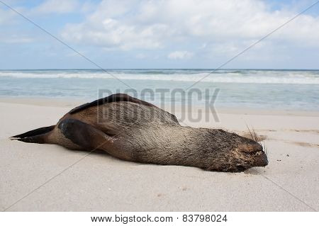 A Dead Seal Lay Washed Up On Sand Of Beach