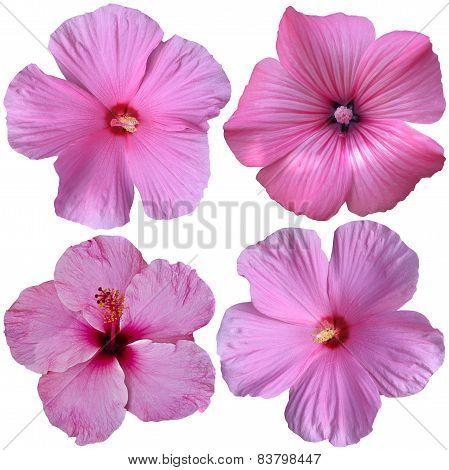 4 Pink Hollyhock Flowers