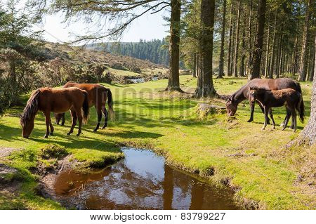 Bellever Dartmoor Devon