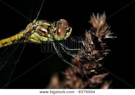 Closeup Ruddy Darter Dragonfly with big eyes on dark background