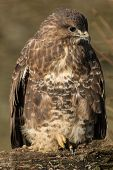 foto of buzzard  - Common Buzzard on Branch - JPG