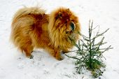 picture of chow  - Brown chow chow dog living in the european city. Winter in Lithuania.