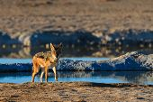 picture of jackal  - Black backed jackal leaving water hole Namibia Etosha National Park Africa - JPG