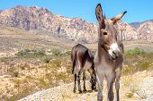 pic of burro  - An image of wild burros in the desert southwest of Nevada - JPG