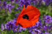 foto of rare flowers  - Beautiful poppy flower in a botanical garden