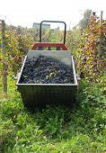image of moscato  - Harvest in October Oltrepo Pavese italy barbera - JPG