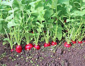 stock photo of radish  - Ripe oval red radish in the garden - JPG