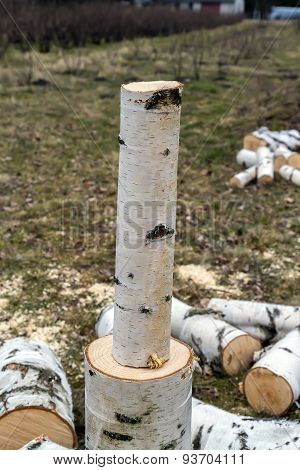 Thin Birch Trunk Part