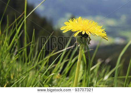 Dandelion Breitenstein Bavaria Alps