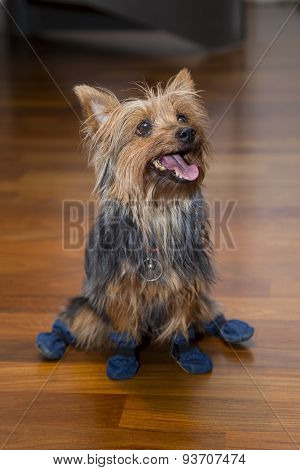 Brown indoor terrier dog with blue boots