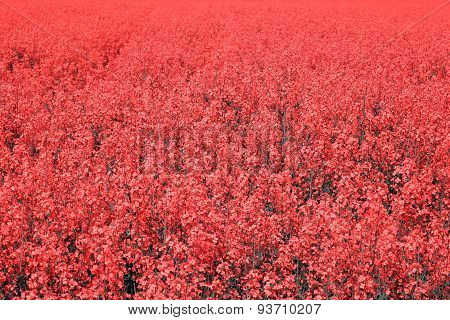 Field with red flowers
