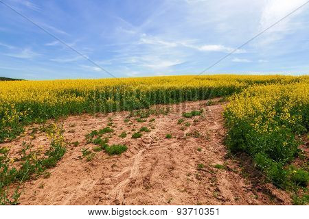 Rape field, pathway with blue sky