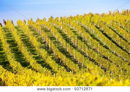 autumnal vineyard, Modre Hory, Czech Republic