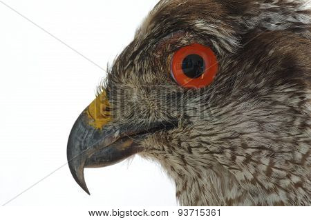 Goshawk portrait taxidermy