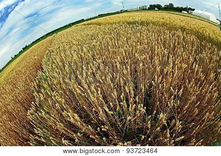 Different Varieties Of Wheat In Fish-eye View 7