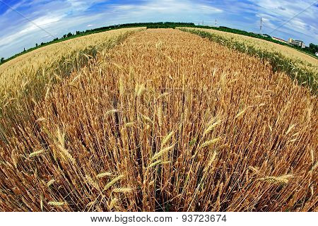 Different Varieties Of Wheat In Fish-eye View 6