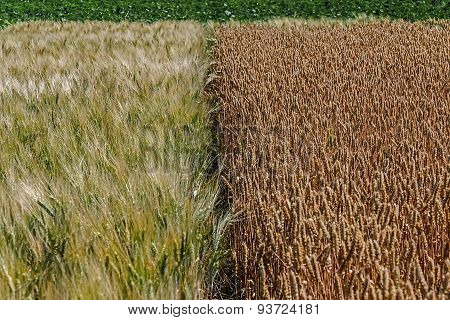 Different Varieties Of Wheat 6