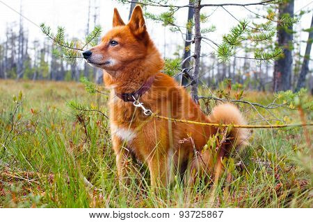 Finnish Spitz On The Swamp