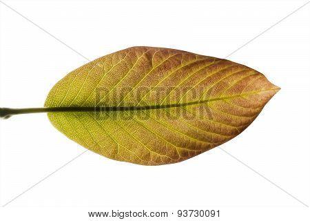 Leaf In Transparency