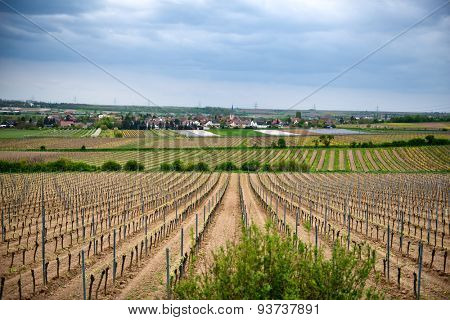 Overview of Rows of Young Grape Vines Growing in Winery Fields Outside of Small Town, Dirmstein, Germany