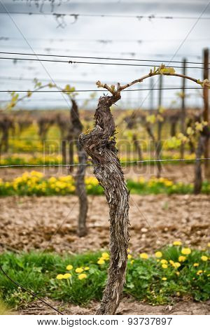 Close up of a mature trellised vine sprouting its fresh spring leaves in a vineyard near Dirmstein, Germany