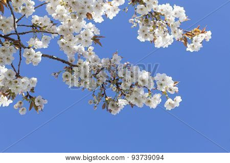 Pretty Spring Blossom With Blue Sky