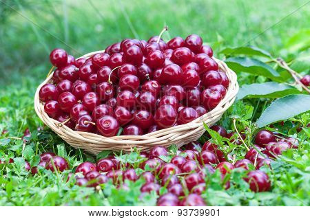 Sour cherries in a grass