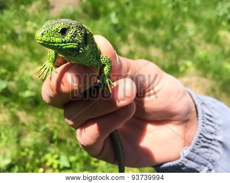 Little green lizard in the hands of man.