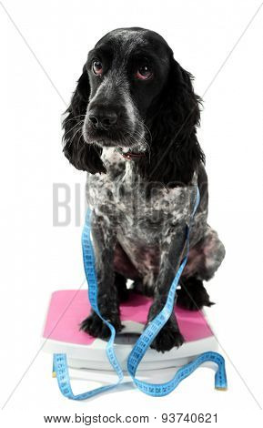 Dog on scale with measuring tape, isolated on white